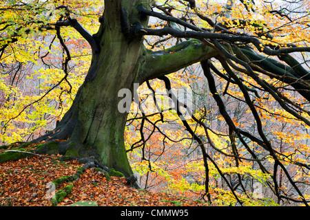 Autumn tree, Bolton Abbey, Yorkshire, England, United Kingdom, Europe - Stock Photo