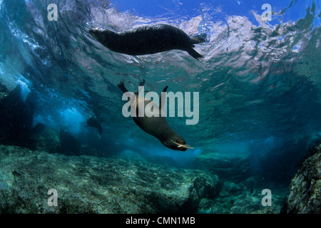 California Sea Lion playing with seastar, La Paz, Baja California, Mexico. - Stock Photo