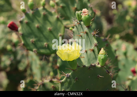 Cactus with flowers, Camaratuba, Paraiba, Brazil, Brasil - Stock Photo