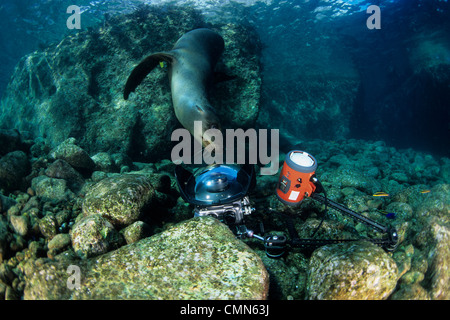 California sea Lion, playing with underwater camera, Los Islotes, Sea of Cortez, Baja California, Mexico, East Pacific - Stock Photo