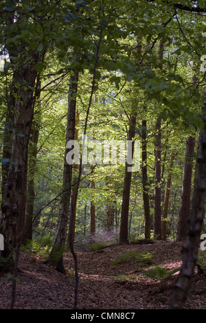 Mixed woodland in spring including Beech and Silver Birch Alderley Edge Cheshire England - Stock Photo