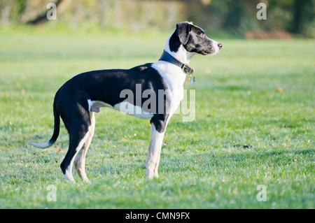 Young black and white Lurcher, spaniel cross standing on dew, wet grass looking straight ahead - Stock Photo