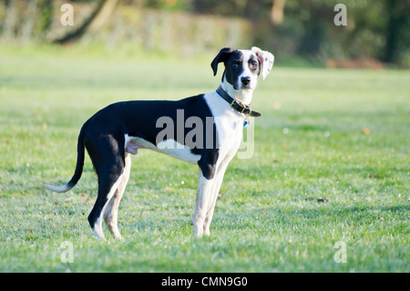 Young black and white Lurcher, spaniel cross standing on dew, wet grass looking at camera - Stock Photo