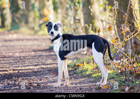 Young black and white Lurcher, spaniel cross standing on a track in the woods with his tongue sticking out - Stock Photo