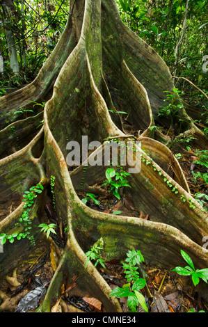 Buttress roots of Shorea sp. within lowland Dipterocarp rainforest. Danum Valley, Sabah, Borneo. - Stock Photo
