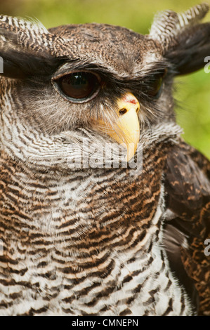 Malay eagle owl, Malaysia - Stock Photo