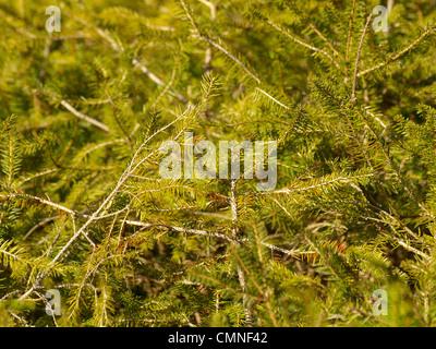 branches from a norway spruce / Picea abies / Äste einer gemeinen Fichte - Stock Photo