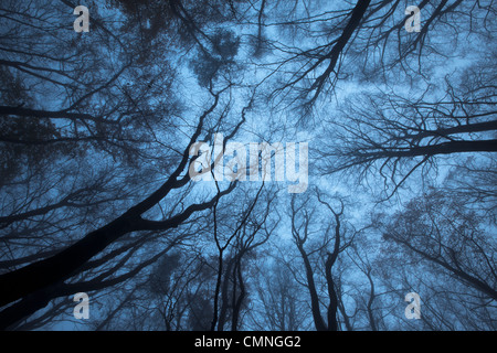 Looking up through a Beech wood canopy (Fagus sylvatica) in winter, Peak District National Park, Derbyshire, UK. - Stock Photo