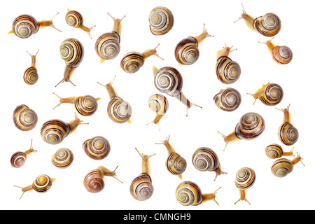 Brown lipped snails photographed on white background. Digital composite, all snails are different individuals. Peak - Stock Photo