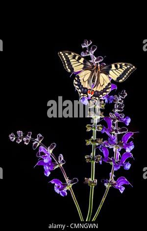 Common Swallowtail butterfly feeding on Meadow Clary flowers, backlit. Nordtirol, Tirol, Austrian Alps, 1700 metres - Stock Photo