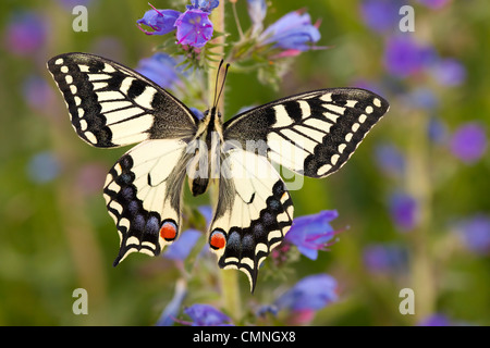 Common Swallowtail butterfly feeding on Viper's Bugloss / Blueweed in alpine meadow. Nordtirol, Tirol, Austrian - Stock Photo
