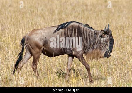 Side view of solitary Wildebeest, Connochaetes taurinus, Masai Mara National Reserve, Kenya, Africa - Stock Photo