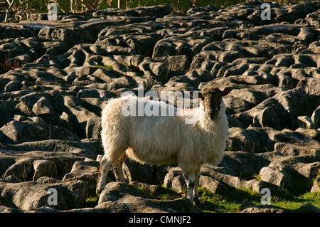 Sheep on limestone pavement above Malham Cove, North Yorkshire - Stock Photo