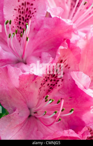 Close up of pink azalea in full bloom in Spring with stamens facing upwards - Stock Photo