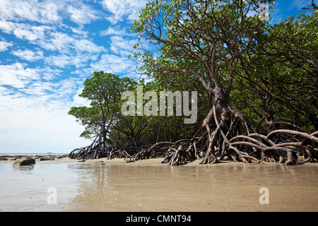 Mangrove forest at low tide. Cape Tribulation Beach, Daintree National Park, Queensland, Australia - Stock Photo