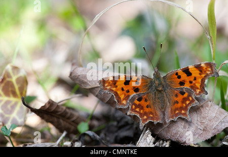 Polygonia c-album. Comma butterfly in the english countryside - Stock Photo