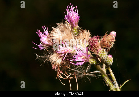 Thistle flower close up against black background - Stock Photo