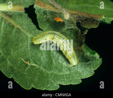 Winter moth (Operophtera brumata) caterpillar on an apple leaf - Stock Photo