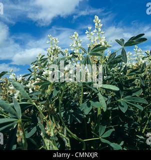 White crop lupins (Lupinus albus) in flower - Stock Photo
