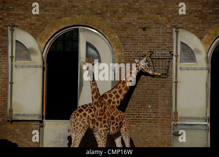 Giraffes at Regents Park Zoo London - Stock Photo