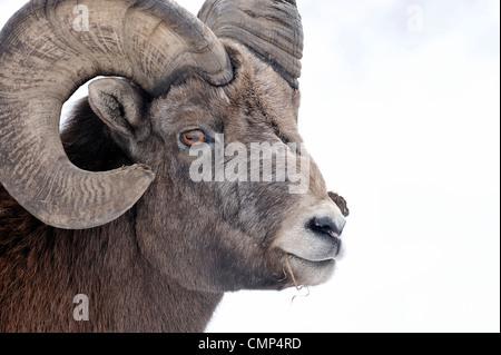 A portrait of a wild Rocky mountain bighorn sheep - Stock Photo