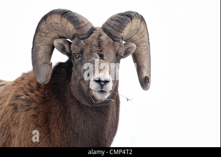 A front view portrait of a wild Rocky mountain bighorn sheep - Stock Photo