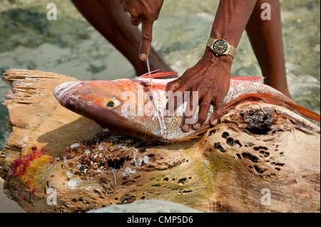 Kuna fisherman filleting a red snapper at Kuna Yala - Stock Photo