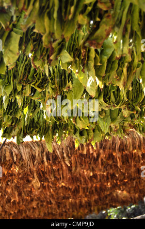 Tobacco leaves hanging for drying - Stock Photo