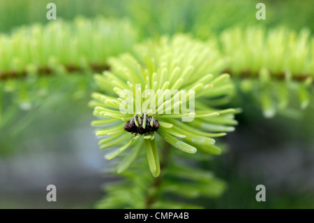 abies nordmanniana  golden spreader closeup yellow green foliage leaves needles plant portraits conifers evergreens - Stock Photo