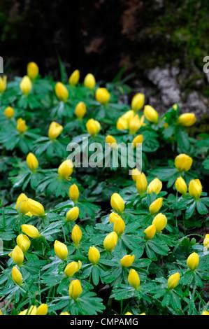Eranthis hyemalis Winter aconites aconite yellow flowers naturalised naturalise wood woodland carpet - Stock Photo