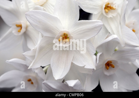 narcissus ziva paperwhites plants white flowers flowering blooms bulbs spring scented fragrant daffodils paperwhite - Stock Photo