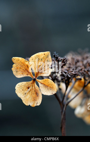 hydrangea macrophylla cv sonnengruss seed head seedheads flower head flowerhead closeups close-ups ups flowers flowering blooms