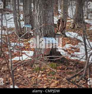 maple sugar trees with sap pails hung on the trunks in a private maple sugar bush, in order to prepare maple syrup - Stock Photo