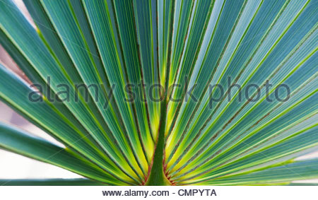 Brahea Armata. Mexican Blue Palm leaf pattern - Stock Photo