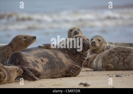 Atlantic or Grey Seals (Halichoerus grypus). Young Bull midst cows on  Horsey beach, North Norfolk. February. - Stock Photo