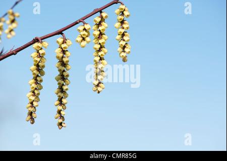 Stachyurus chinensis. Chinese Stachyurus plant in early spring. UK - Stock Photo