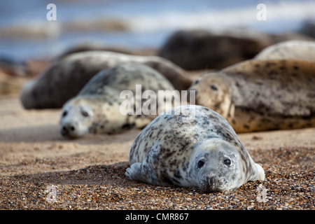 Atlantic or Grey Seals (Halichoerus grypus). Young cows or females. Horsey beach, North Norfolk. February. - Stock Photo