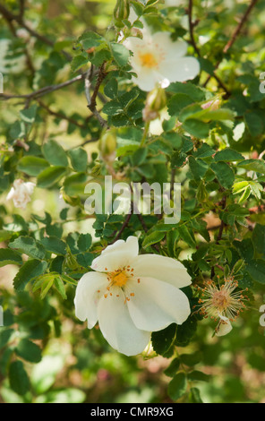Close - up of wild rose bush seen in gardens in North London, England UK. - Stock Photo