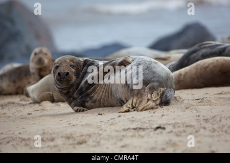 Atlantic or Grey Seals (Halichoerus grypus). Bull or male scratching flank. Horsey beach, North Norfolk. February. - Stock Photo