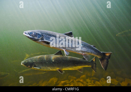 Atlantic Salmon migrate from salt water upstream to reach spawning grounds, Exploits River, NL - Stock Photo