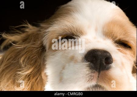 This is photo of a sleeping Cocker Spaniel puppy. - Stock Photo