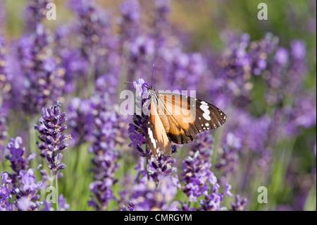 Lesser wanderer butterfly on lavender flowers - Stock Photo