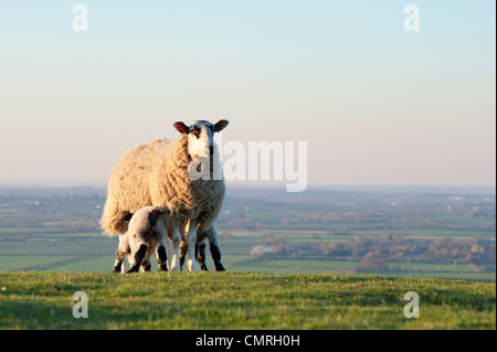 Lambs suckling from a ewe on a hillside in the english countryside. Oxfordshire, England