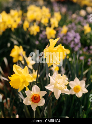 1990s YELLOW DAFFODILS AND JONQUILS - Stock Photo