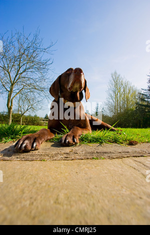 Irish Setter Dog, Red Setter in garden.pet.pup,pointing breed - Stock Photo