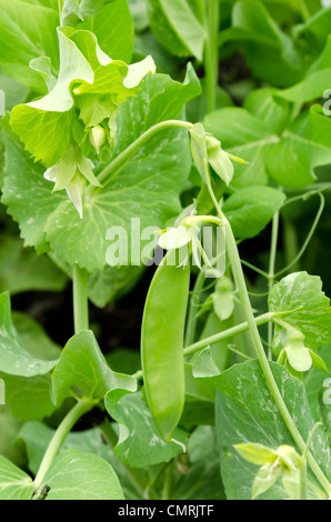Close-up of young fresh peas growing in the garden - Stock Photo