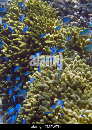 Damselfish and coral, Coral Coast, Viti Levu, Fiji, South Pacific - Stock Photo