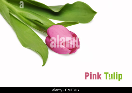 Pink tulip isolated on white background. Closeup, shallow DOF. - Stock Photo