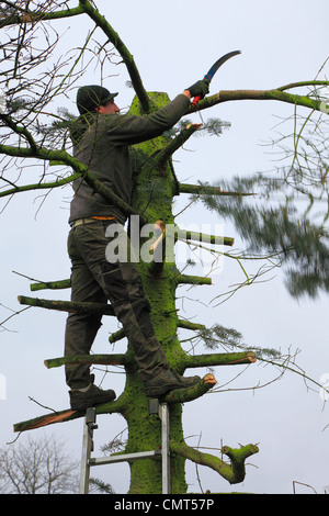 nature, landscape preservation, occupation, gardener stands on a ladder felling a diseased tree, D-Oberhausen-Sterkrade, - Stock Photo