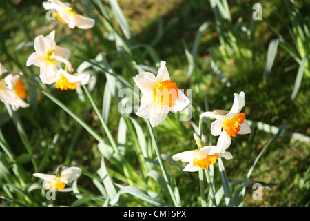 Daffodil flowers growing in spring - Stock Photo